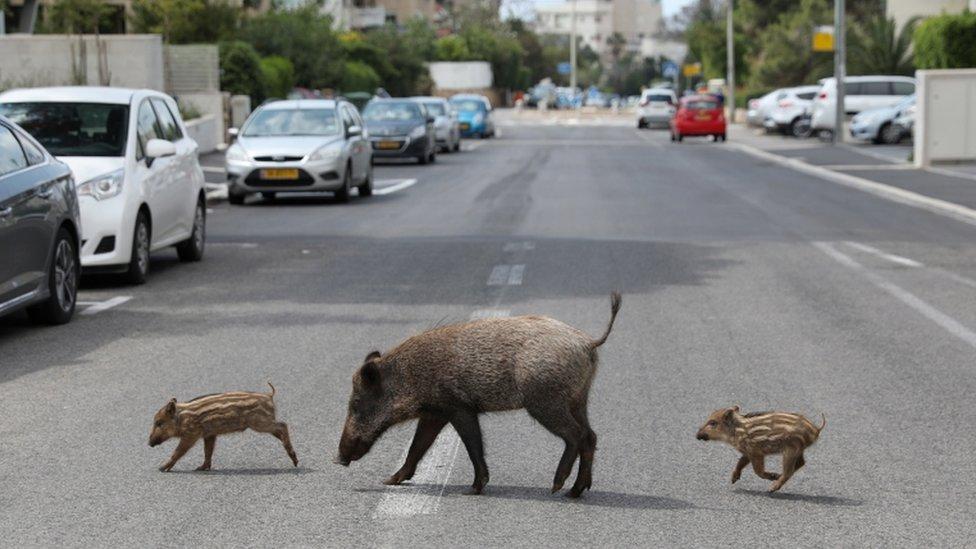 Wild boar in Haifa, Israel are enjoying food left in resident's rubbish bins
