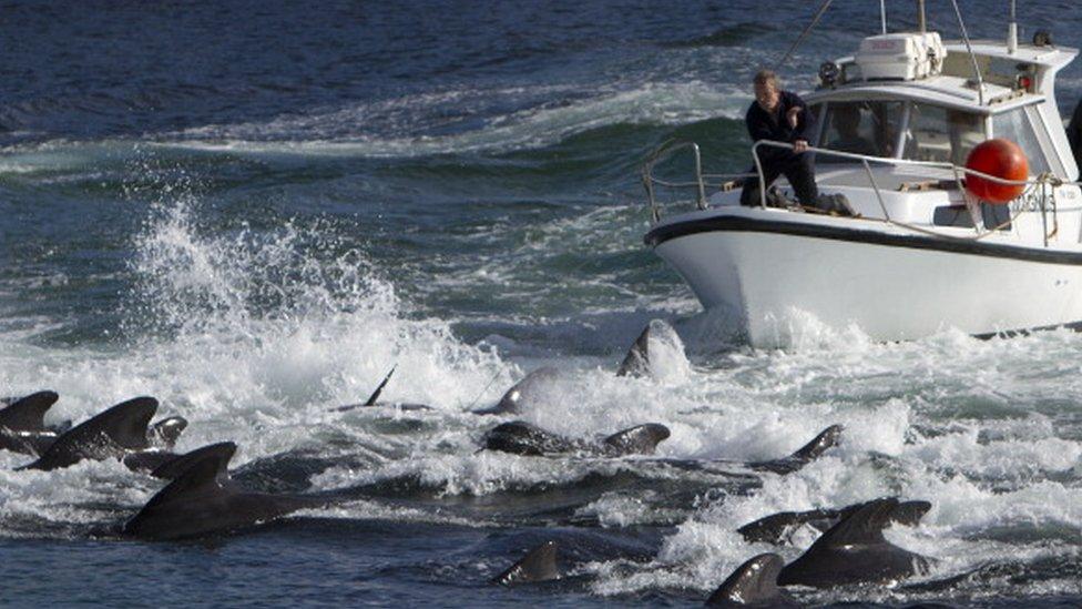 Hombre cazando ballenas en las Islas Feroe.