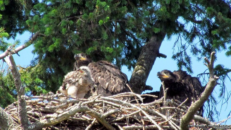 Bald eagle nest with red-tailed hawk
