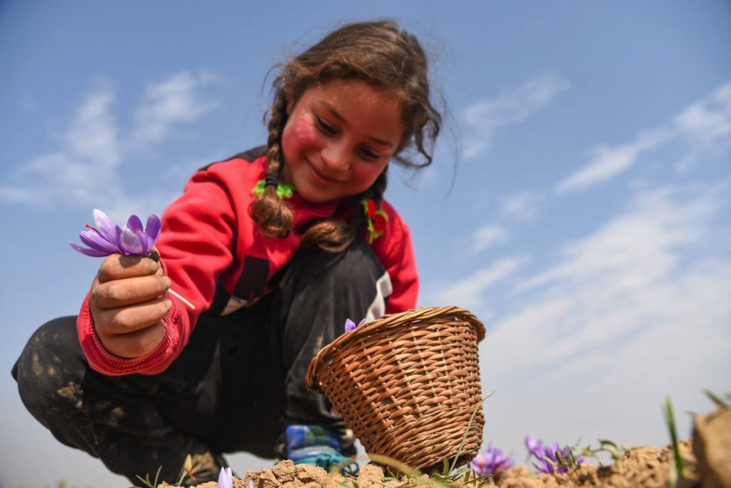 A girl harvests saffron on a field in Kashmir, October 2020