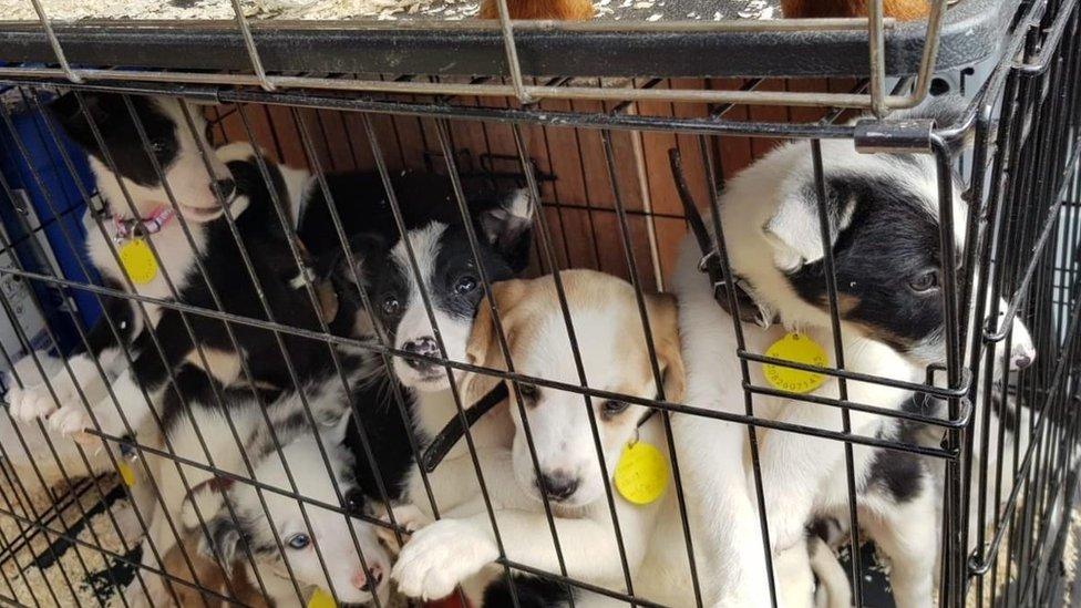 Stolen puppies, Charlton Kings