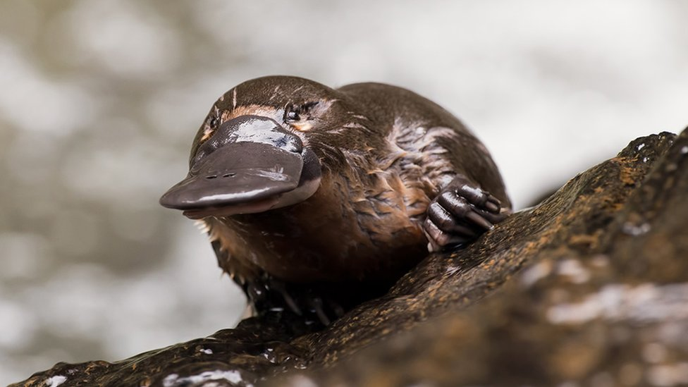 Platypus milk: How it could combat superbugs