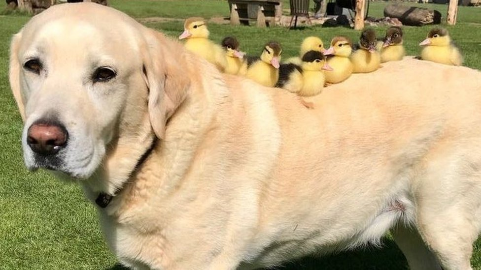 Dog 'adopts' nine orphaned ducklings at Essex castle