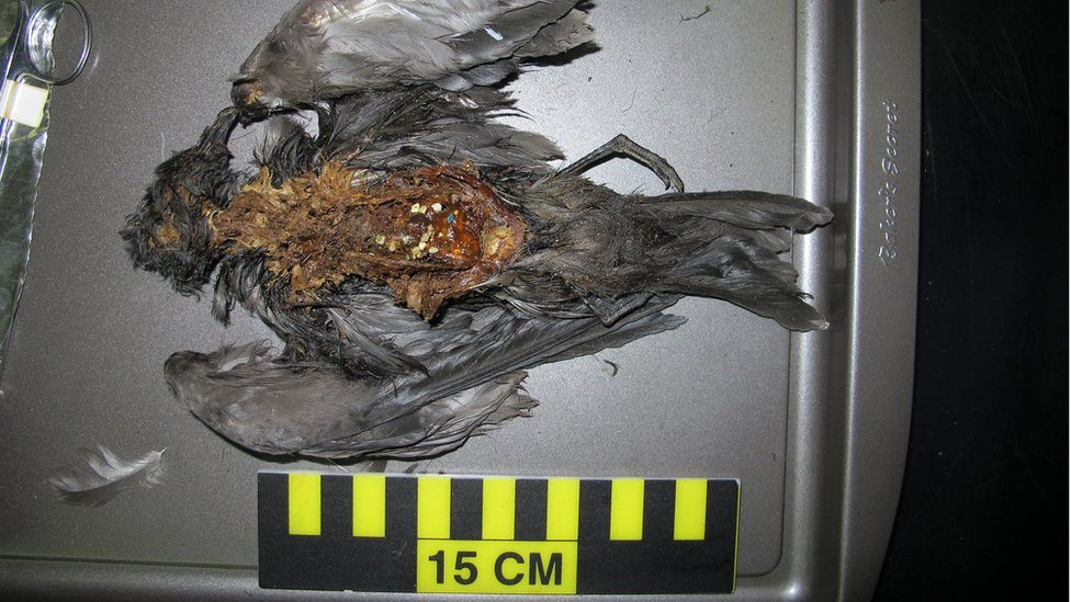 Seabirds, like this Tristram's Storm-Petrel (Oceanodroma tristrami), eat plastic particles at sea mistaking them for food