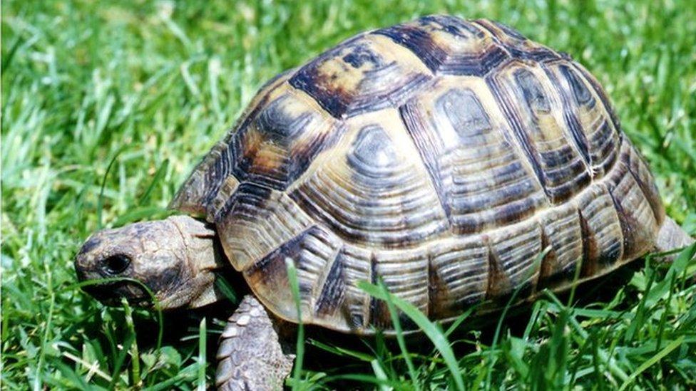 Tortoise walking on grass