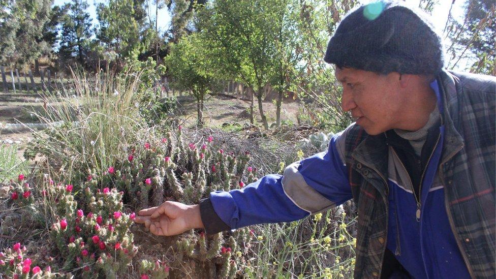 """Héctor Vélez dice que sabe cuándo se avecinan las lluvias porque se lo dice este cactus, conocido localmente como """"la achacana""""."""