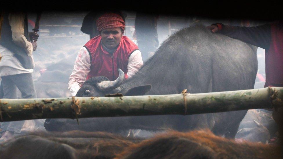 un devoto hindú prepara el sacrificio de un búfalo para el festival de Gadhimai, en Bariyarpur, diciembre, 2019