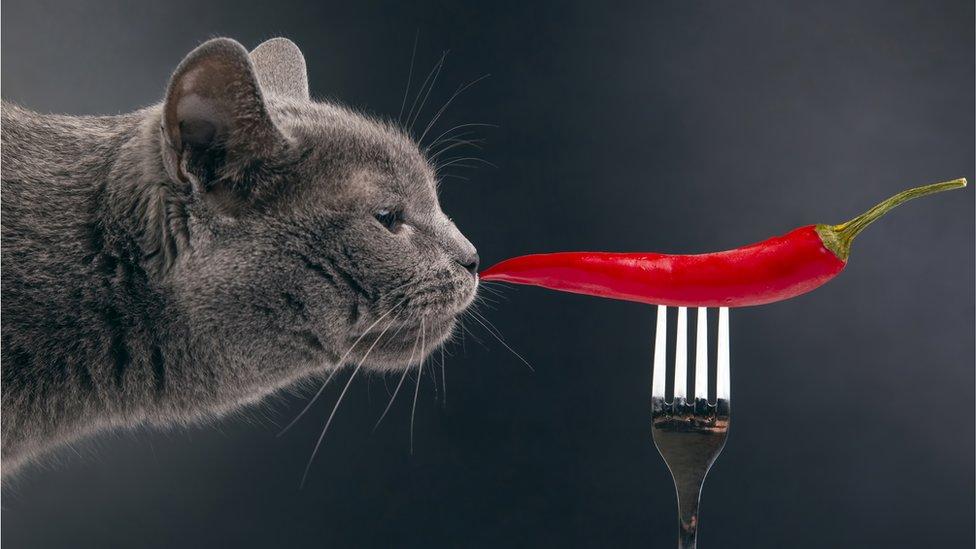 mačka njuška papriku