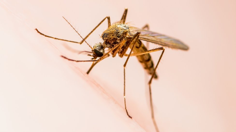 以倫敦地鐵命名的蚊子