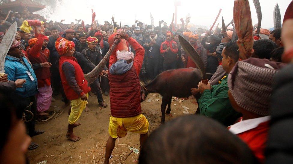 Un carnicero mueve su cuchillo para sacrificar a un búfalo, en Nepal, Diciembre 2019