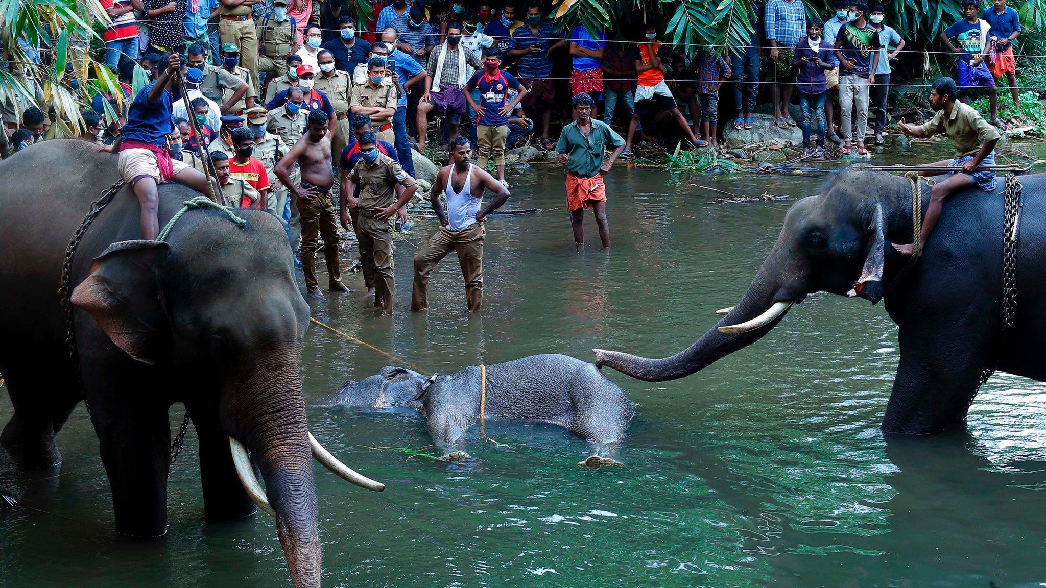 مصرع أنثى فيل وجنينها بعد وجبة مفرقعات نارية