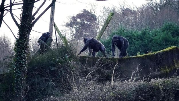 The great escape? Chimps scale the wall at Belfast Zoo