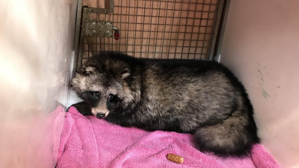 Raccoon dog rescued with sausages and ham