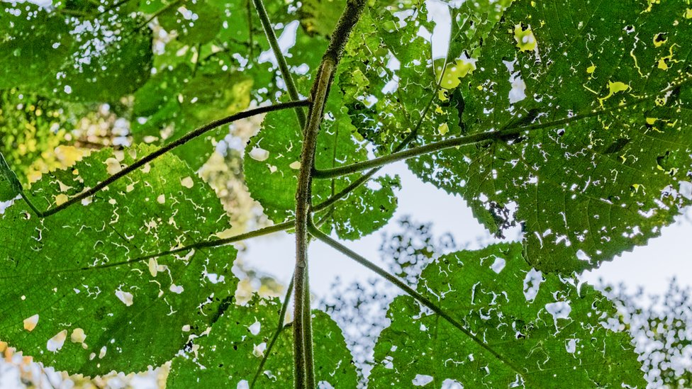 Leaves of Dendrocnide excelsa or the Australian stinging tree