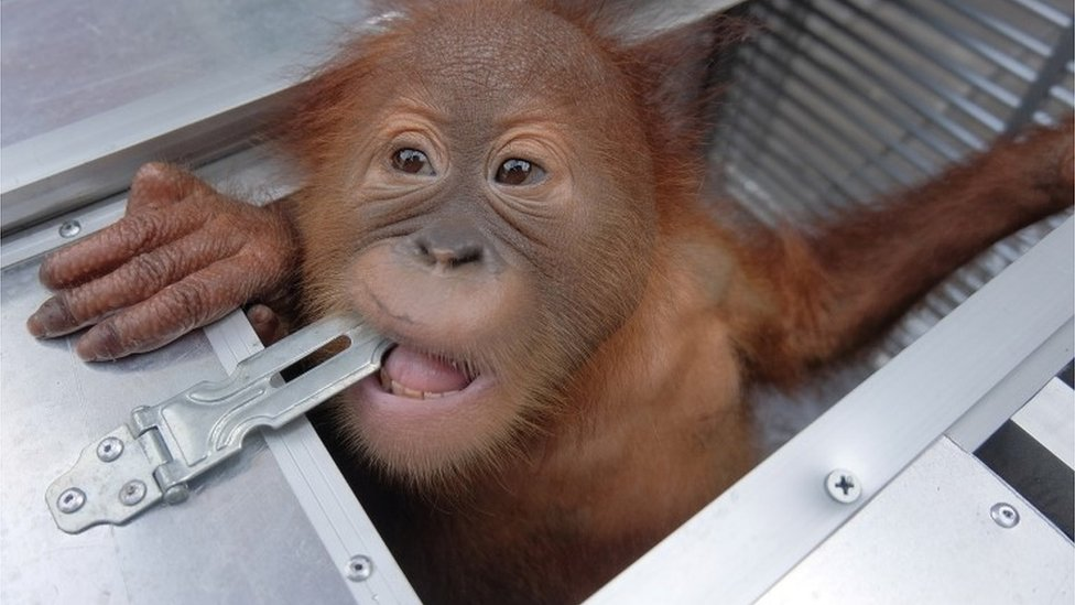Smuggled orangutan seized at Bali airport