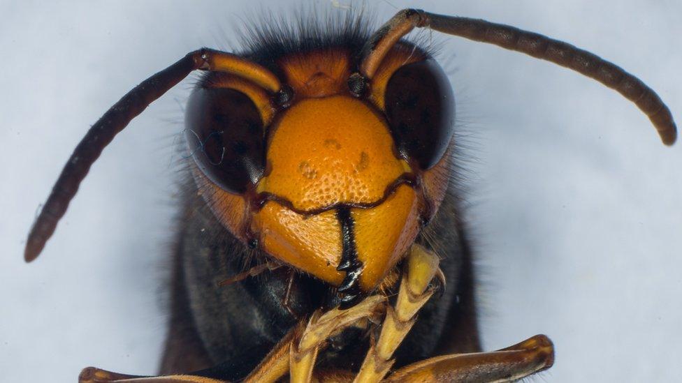 Asian hornet - file pic