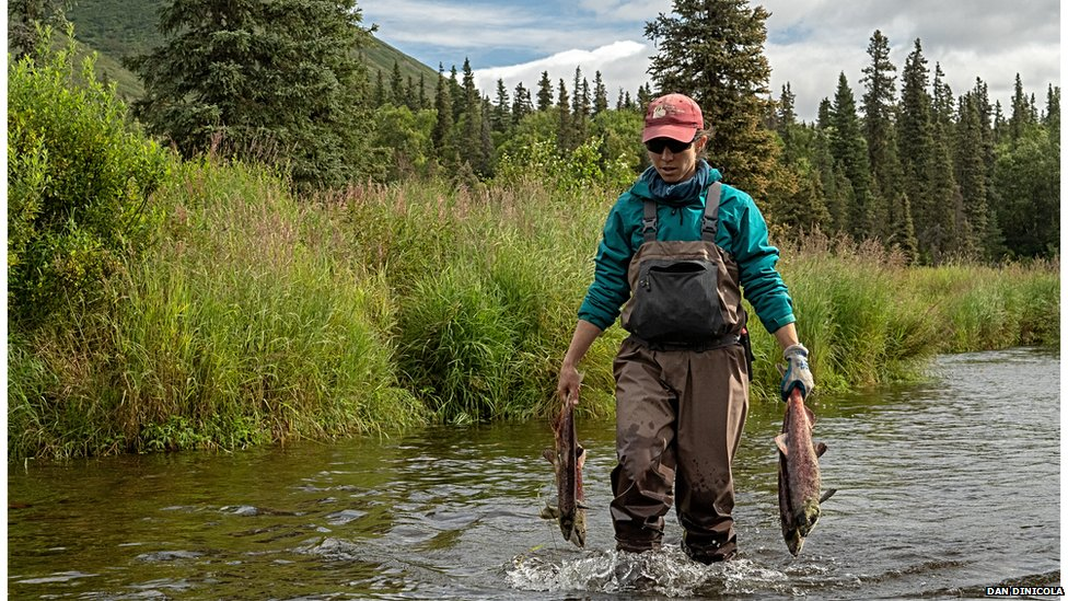 Carrying salmon carcasses