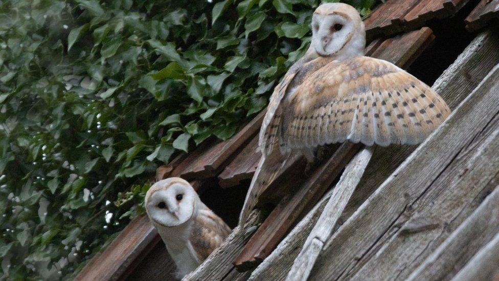 Image result for barn owls