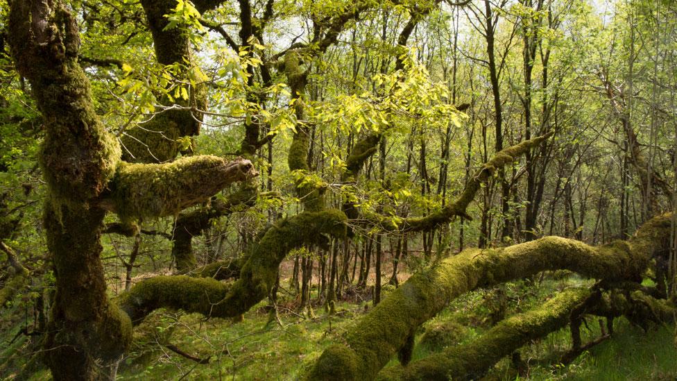 Bid to save Scotland's ancient rainforest