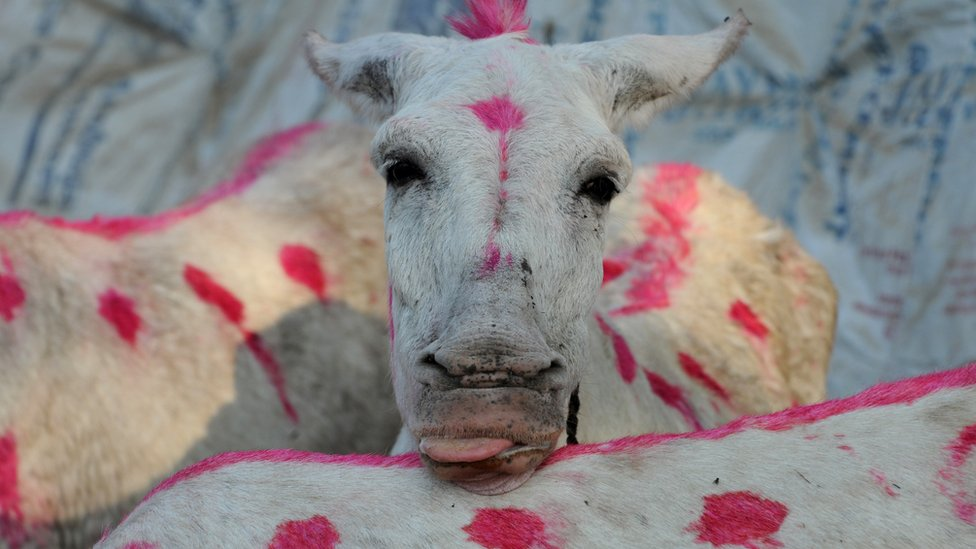 A donkey is pictured during a fair at Vautha village, some 50 kms. from Ahmedabad, on November 2, 2011.