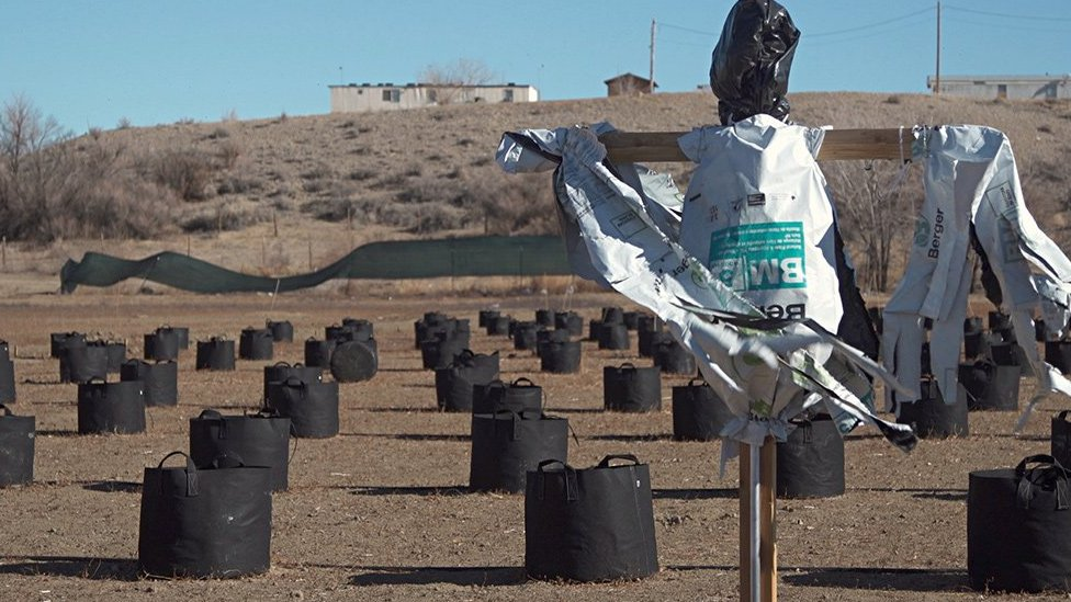 A scarecrow in the midst of cannabis cultivation pots at a farm in Shiprock, New Mexico