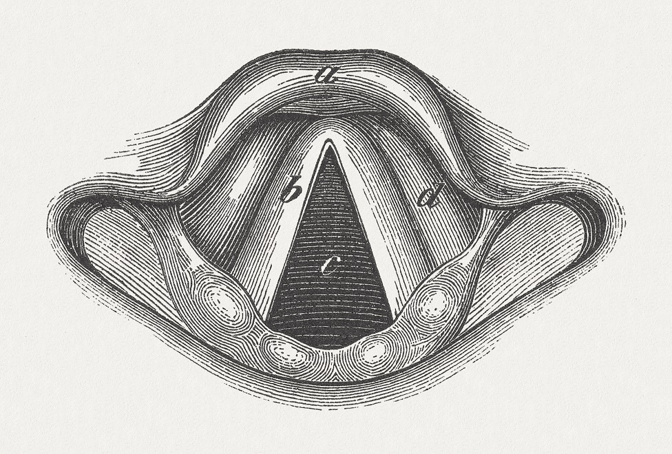 An ink wood engraving from 1875 - showing the anatomy of a human larynx