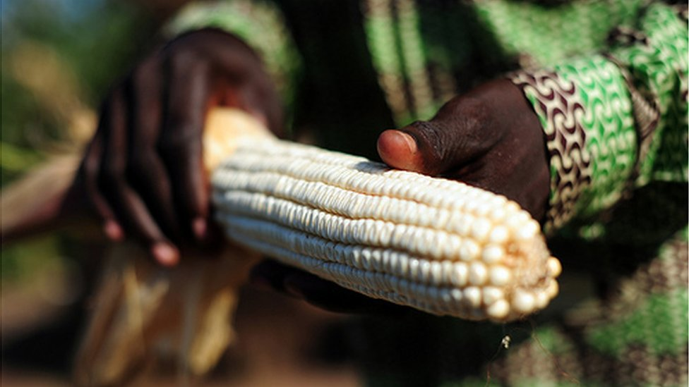 Maize (Image: International Center for Tropical Research)