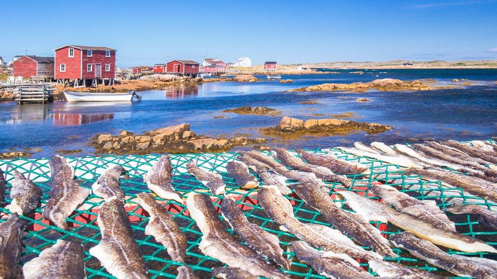 Bacalao secándose en la isla Fogo, Canadá