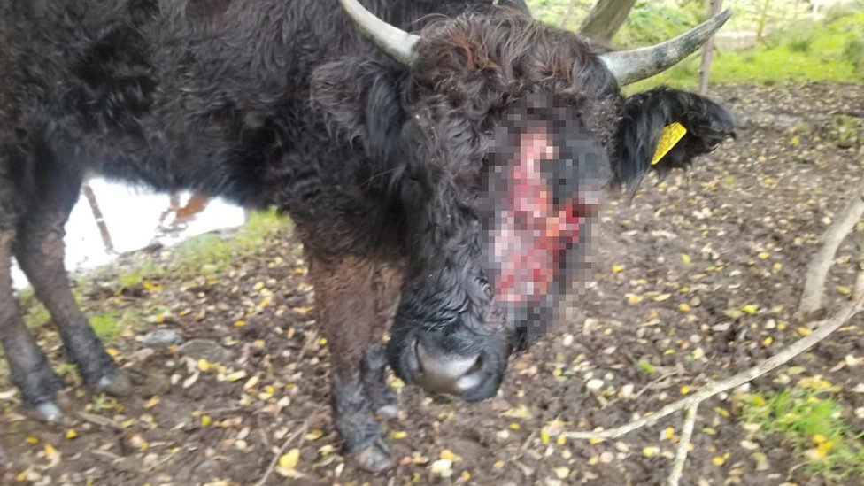 The cow suffered serious face injuries