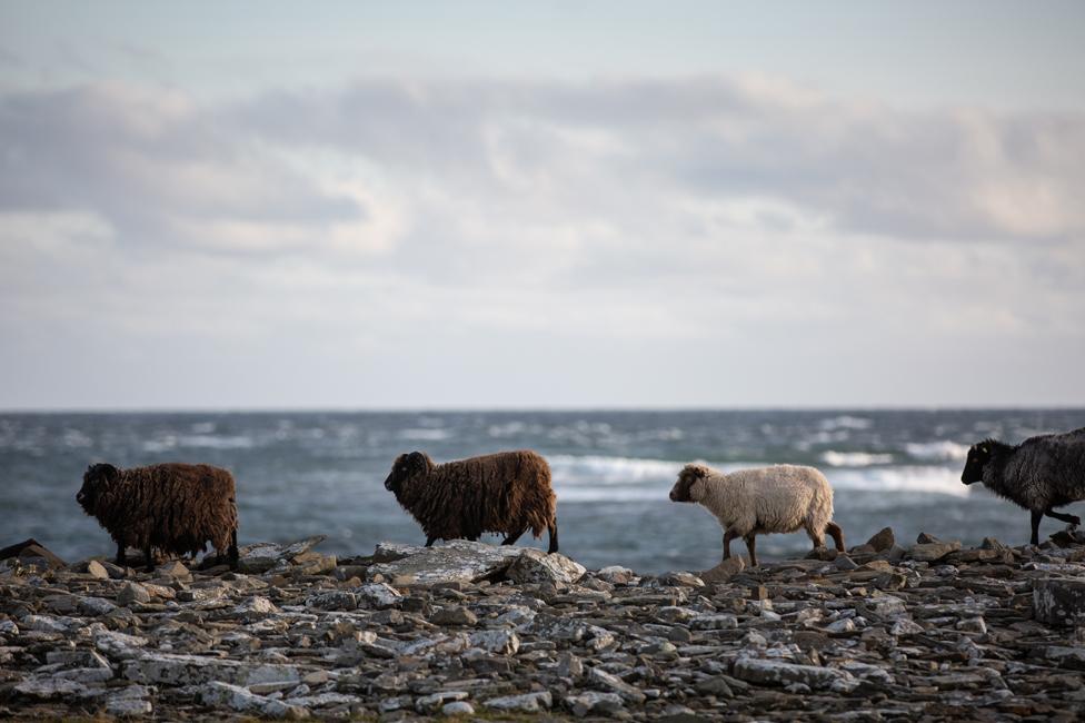 Sheep trot along the shore