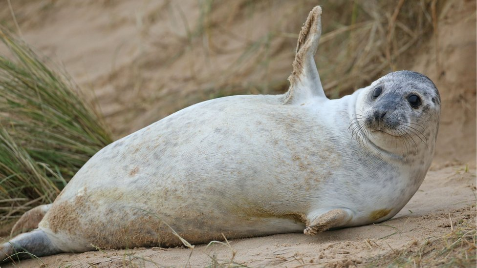A reclining seal appears to wave