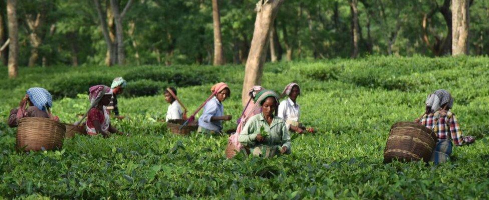 Women working in tea plantation