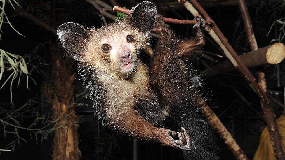The aye-aye (Daubentonia) of Madagascar