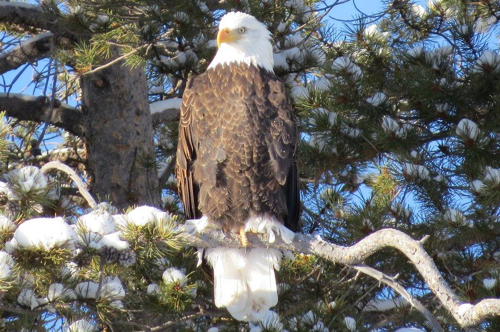 Bald eagle sitting in a tree - image taken by Ed Stege