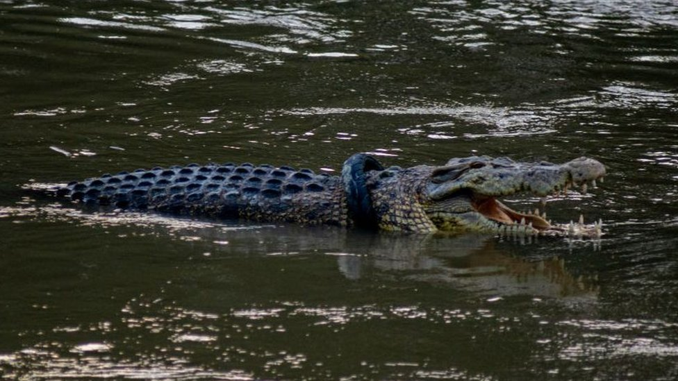 تمساح يهاجم رجلا خالف تعليمات العزل