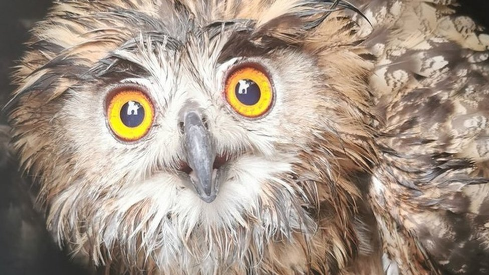 Wiltshire missing eagle owl found after 13 months