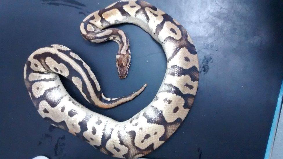 Royal pythons found dead in pillowcase in Rhondda