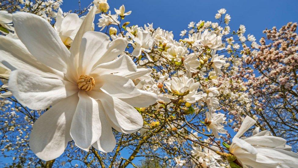 Arbol de magnolia