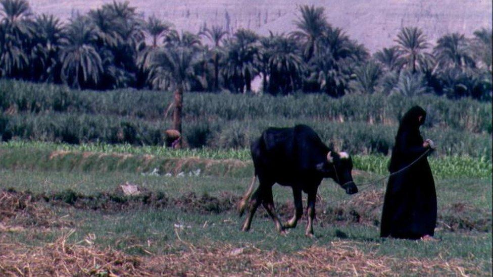 فلاحة مصرية تسحب جاموستها في حقل.