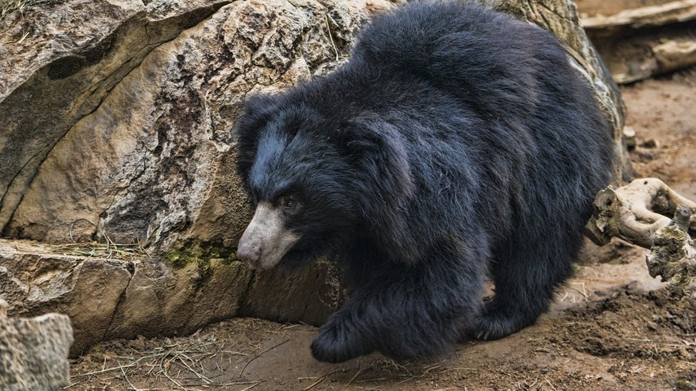 A sloth bear in an enclosure