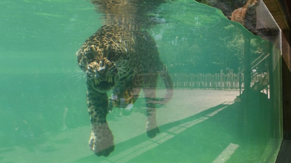 A jaguar cools off in a pool in Bordeaux-Pessac zoo in southwestern France - 26 June