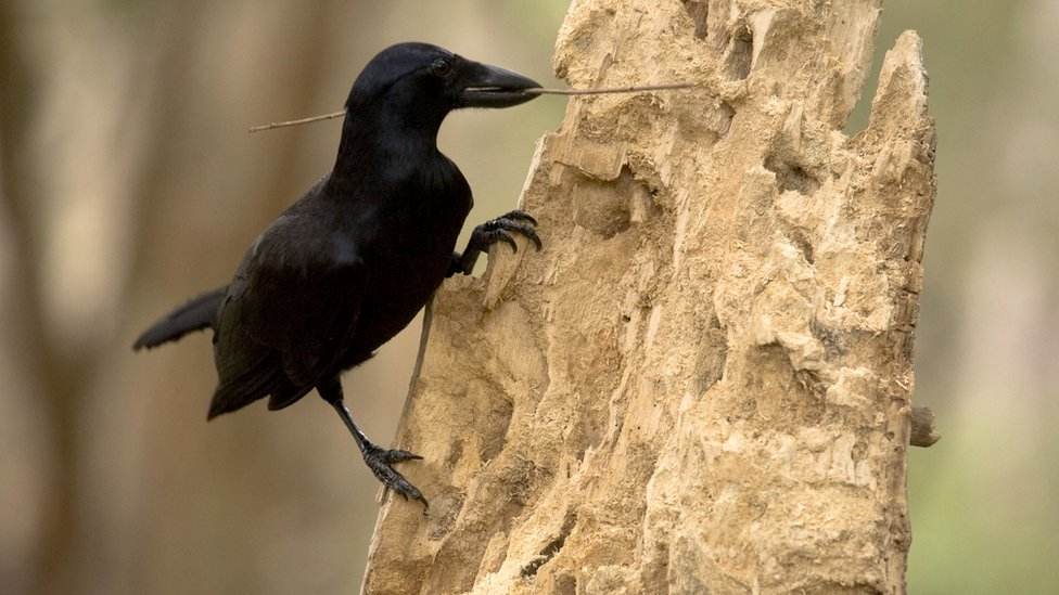 crow with a stick in its beak
