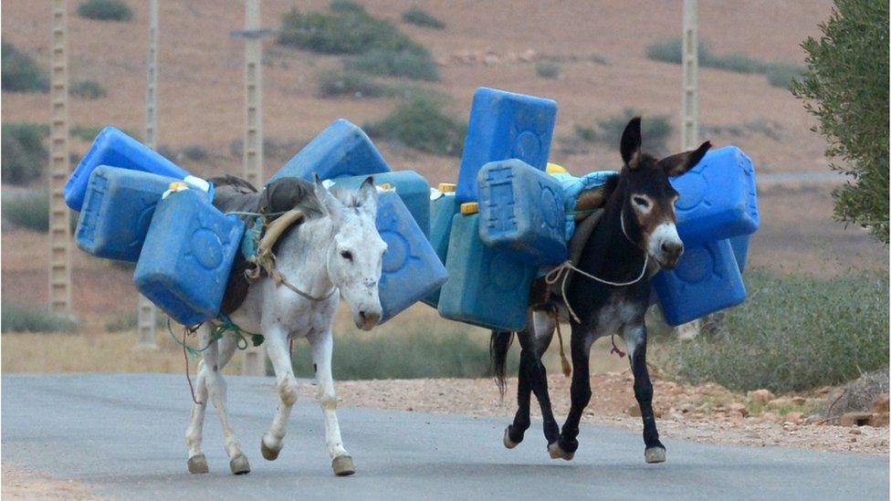 Burros cargando gasolina cerca de la frontera entre Argelia y Marruecos.