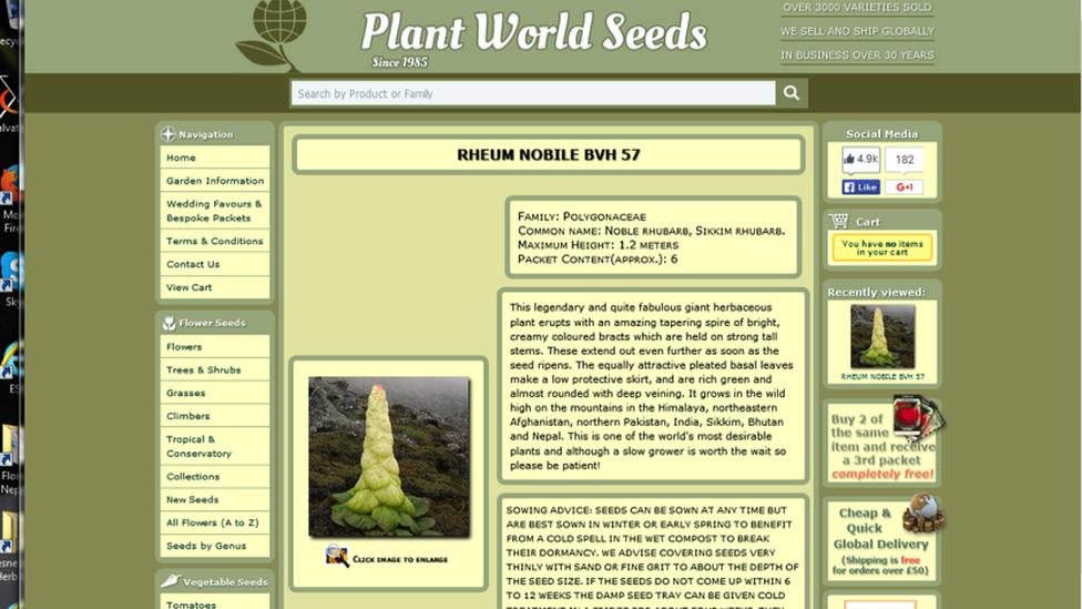 Rheum seeds on sale