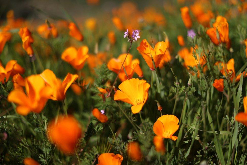 procvetali divlji mak u Kaliforniji