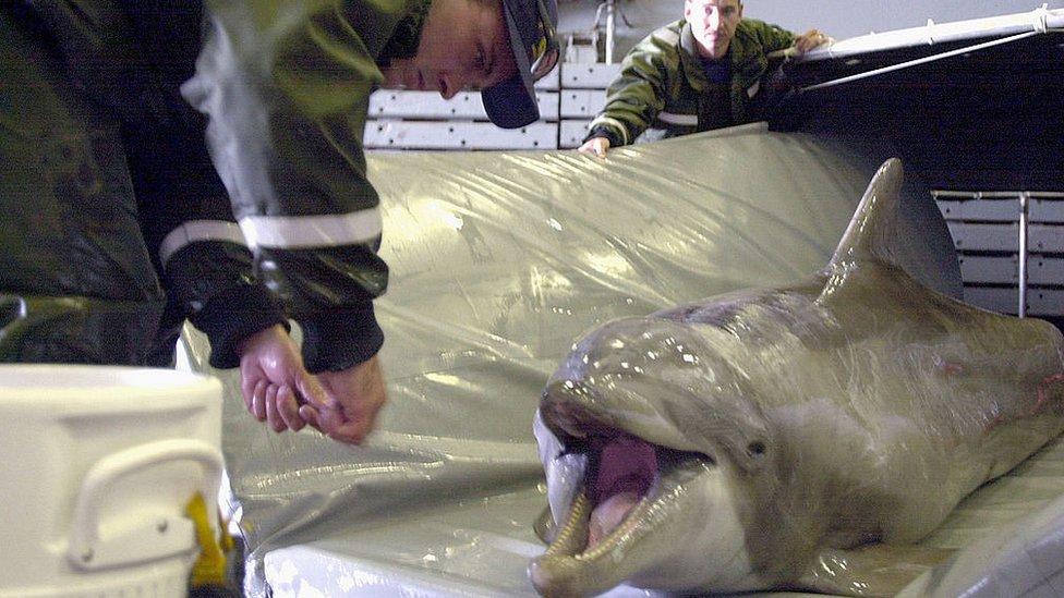 En épocas más recientes, la Armada de Estados Unidos ha utilizado delfines para tareas de desminado.