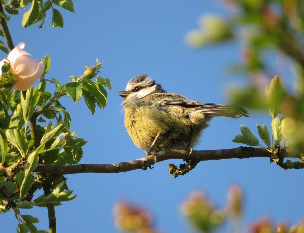 A blue tit bird on a tree branch