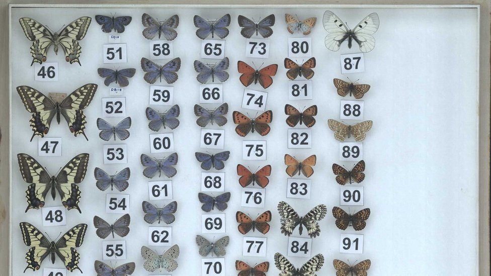 Butterfly tray with more than 40 butterflies displayed including two labelled DB and CH which are the initials of the sites where he found the Large Blues