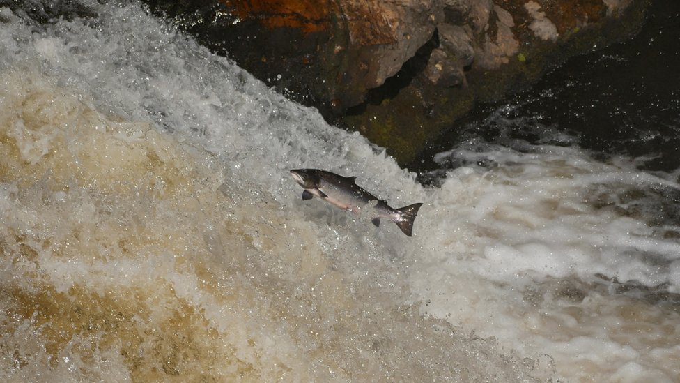 A salmon leaping