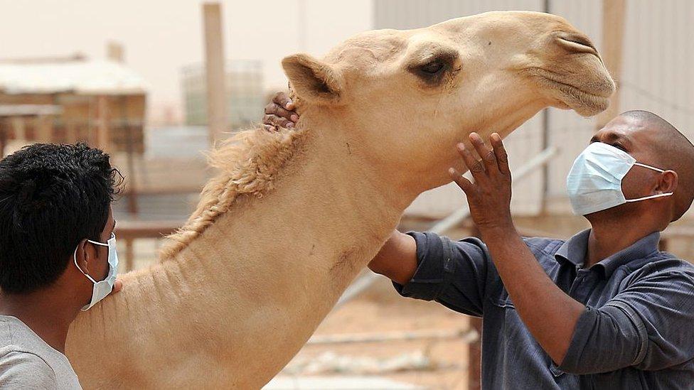 Camello y dos personas con mascarillas.